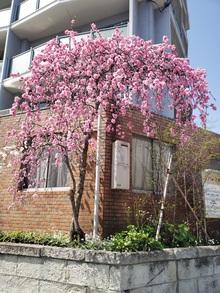 3月の終わり、梅の花